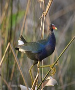 Amber Bobbitt - Purple Gallinule