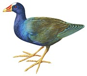 Horizontal Drawings Posters - Purple gallinule Poster by Anonymous