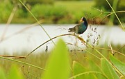 Scoot Framed Prints - Purple Gallinule Perched Framed Print by Lynda Dawson-Youngclaus
