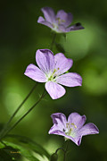 Purple Flowers Digital Art Metal Prints - Purple Geranium Flowers Metal Print by Christina Rollo