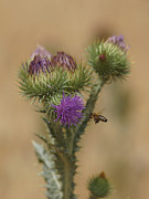 Bee In Flight Prints - Purple Glory Print by Ernie Echols