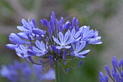 Agapanthus Framed Prints - Purple Glory Framed Print by Kay Pickens