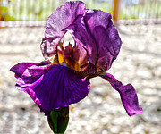 Purple Iris Prints - Purple Godess Print by Camille Lopez