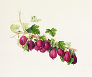 Color Purple Painting Posters - Purple Gooseberry Poster by William Hooker