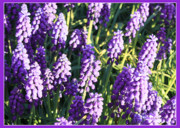 Grape Cards Posters - Purple Grape Hyacinth  Poster by Carol Groenen