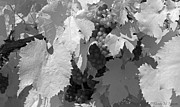Grape Leaf Prints - Purple Grapes BW IR Print by Wendy Hansen-Penman