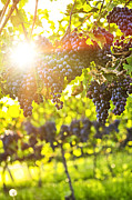 Sauvignon Posters - Purple grapes in sunshine Poster by Elena Elisseeva