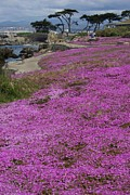 Andy Fletcher - Purple Ground Cover at...