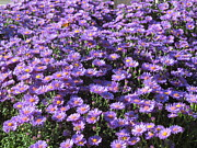 Purple Ground Cover Print by Tina M Wenger