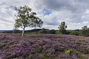 Rockford Prints - Purple Heather in Bloom in the New Forest Print by Helen Hotson