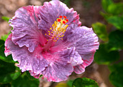 Hawaiian Pictures Prints - Purple Hibiscus Print by Brian Harig