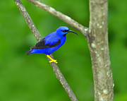 Neotropics Posters - Purple Honeycreeper Poster by Tony Beck