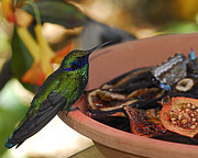 Feeding Pyrography - Purple Humming Bird  by Maria Martinez
