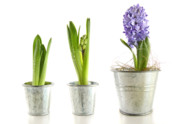 Purple Hyacinth In Garden Pots On White Print by Sandra Cunningham