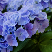 Purple Hydrangeas Prints - Purple Hydrangeas 2 Print by Bonnie Bruno
