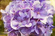 Joan McCool - Purple Hydrangeas