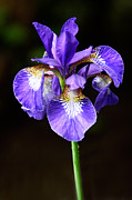 Flora Photos - Purple Iris by Adam Romanowicz