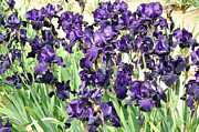 Diane Lent - Purple Iris