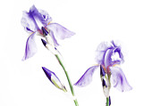 Featured Mixed Media Prints - Purple Iris Glow - Flower - Spring - Garden - Painterly Print by Andee Photography