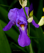 Purple. Iris. Buds Prints - Purple Iris Print by Jeanette C Landstrom