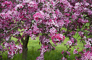 Fruit Tree Metal Prints - Purple Leaved Crab Apple Tree Blossom Metal Print by Tim Gainey