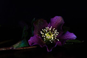 Purple Flower Prints - Purple Light Print by Constance Fein Harding