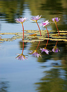 Reflecting Water Prints - Purple Lillies Print by Peter Tellone