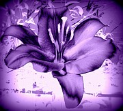 Susan Saver - Purple Lilly