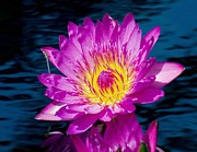 Waterlily Art - Purple Lily on the water by Nick Zelinsky