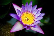 Purple Lotus  Print by Raimond Klavins