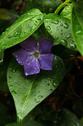 Raindrops On Leaves Framed Prints - Purple Majesty Framed Print by Debbie Wiens