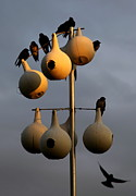 Purple Martin Twilight Print by Karen Wiles