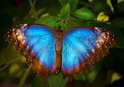 Mark Andrew Thomas Prints - Purple Morpho Butterfly Print by Mark Andrew Thomas