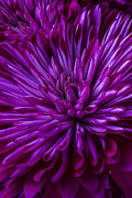 Purple Metal Prints - Purple Mums Metal Print by Garry Gay