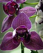 Neurotic Images Photography Framed Prints - Purple Orchid 2 Framed Print by Chalet Roome-Rigdon