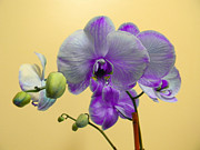 Purple Orchid Print by Christy Usilton