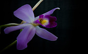 Orchids - Purple Orchid by Glenn Franco Simmons
