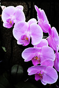 Michael Porchik - Purple Orchid