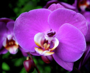 Orchids Posters - Purple Orchid Poster by Rona Black