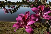 Purple Orchid Tree  Print by Regina  Williams