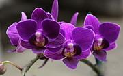 Rosanne Jordan - Purple Orchids