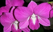 Lisa Bentley Art - Purple Orchids Splendor by Lisa Bentley