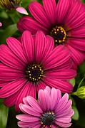 Debbie Green - Purple Osteospermum