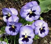 Plant Greeting Cards Prints - Purple Pansies Print by Brian Chase