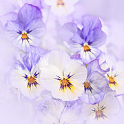 Flower Blooming Photos - Purple Pansies by Elena Elisseeva