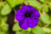 Canvas Photo Originals - Purple Pansy by Michael Waters