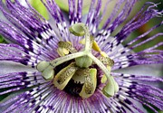 Passifloraceae Prints - Purple Passion Flower Close Up  Print by Tracey Harrington-Simpson