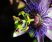 Srikanth Srinivasan - Purple Passion Flower