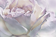 Purple Roses Photo Prints - Purple Passion Pastel Rose Flower Print by Jennie Marie Schell