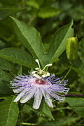 Passiflora Framed Prints - Purple Passion Wildflower - Passiflora incarnat Framed Print by Kathy Clark